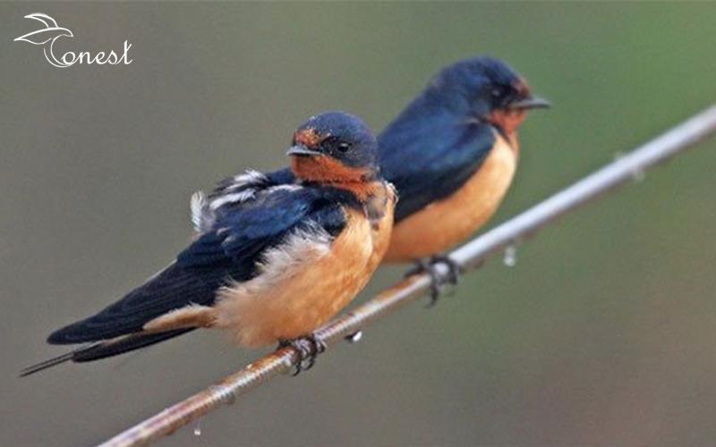 chim yến nhạn