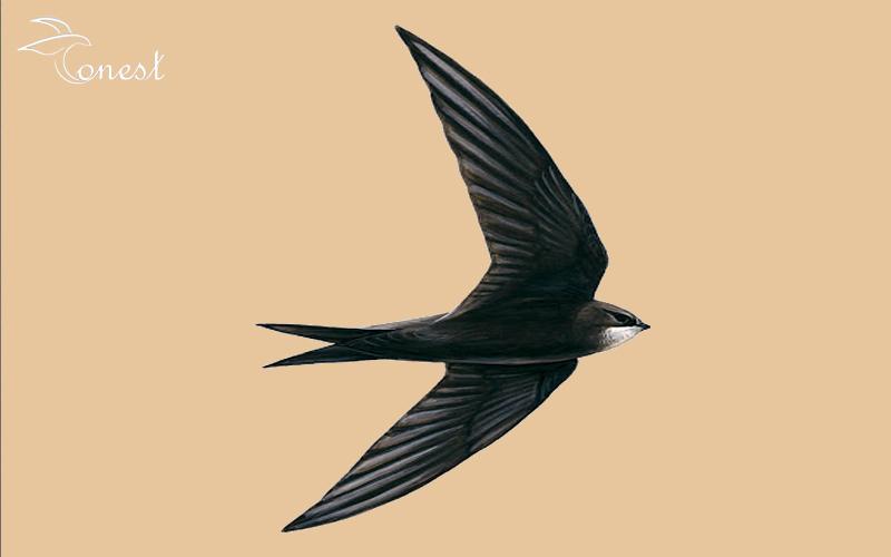 chim yến trắng