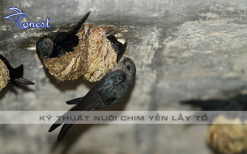 Kỹ thuật nuôi chim yến lấy tổ