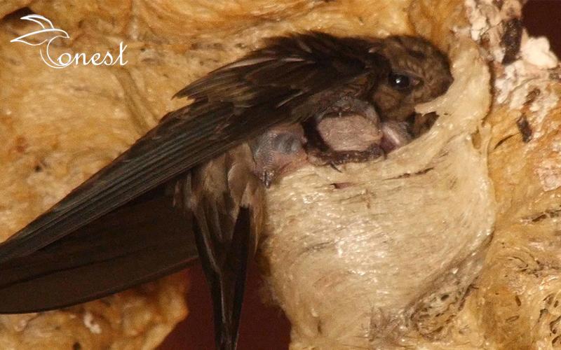 Chim yến nuôi con như thế nào